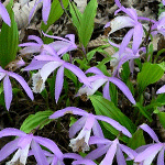 Pleione-Formosana