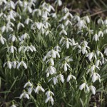 lily-of-the-valley-787041_1280