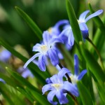 star-hyacinth-682369_1280
